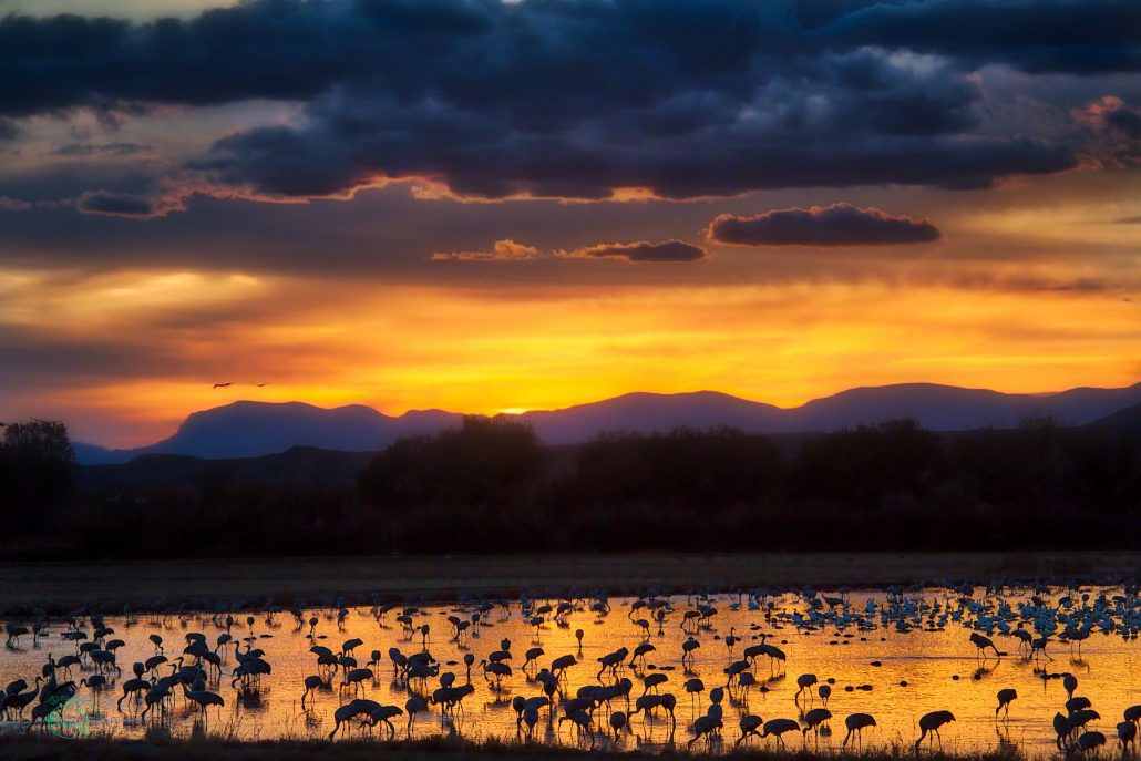 Sandhill cranes gather in beautiful sunset light for their nightly roost at the Bosque del Apache NWR