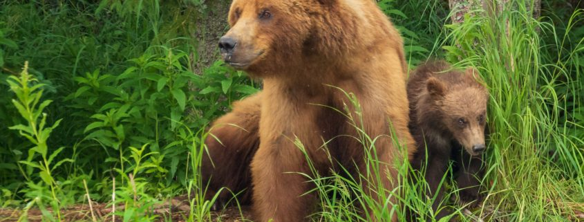 Mother Brown Bear with Spring Cub