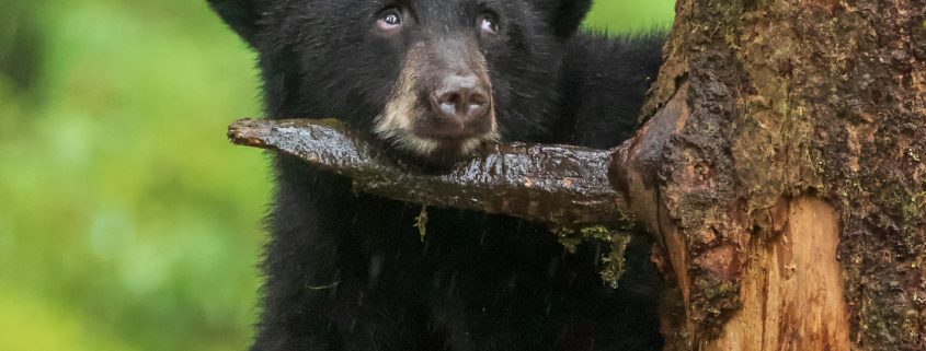 Black bear cub with a funny look on its face up in a tree.
